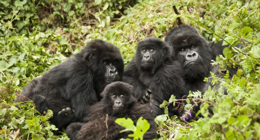 Mountain gorillas are at home in Rwanda's wild places. © Shutterstock