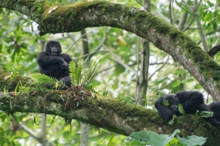 Uganda is famed for its mountain gorilla. © Shutterstock