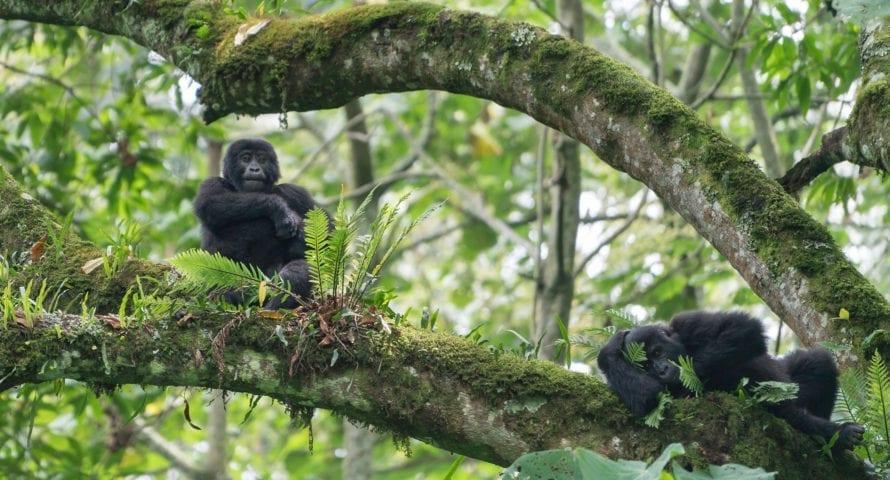 Uganda is famed for its mountain gorilla. © Shutterstock