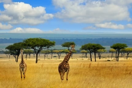 Giraffe find refuge in Kenya's conservation areas. © iStock