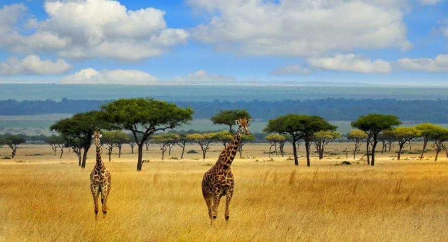 Giraffe find refuge in Kenya's conservation areas. © iStock