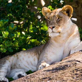 Tanzania is home to the Big Five, including lion. © Shutterstock