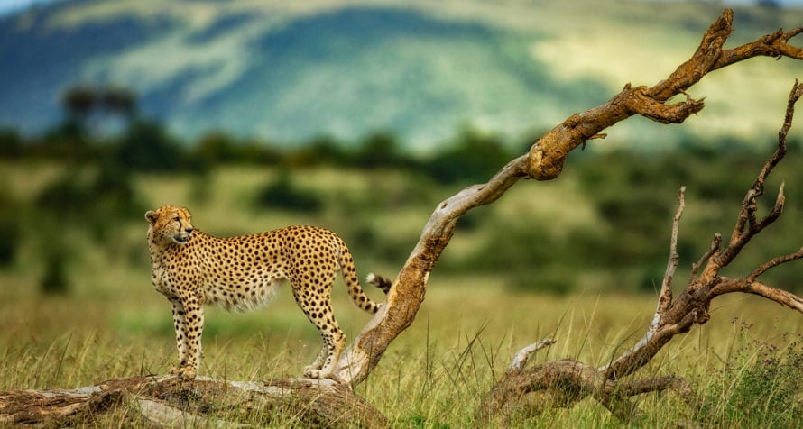 If you're quick enough, you might spot cheetah in Kenya. © Shutterstock
