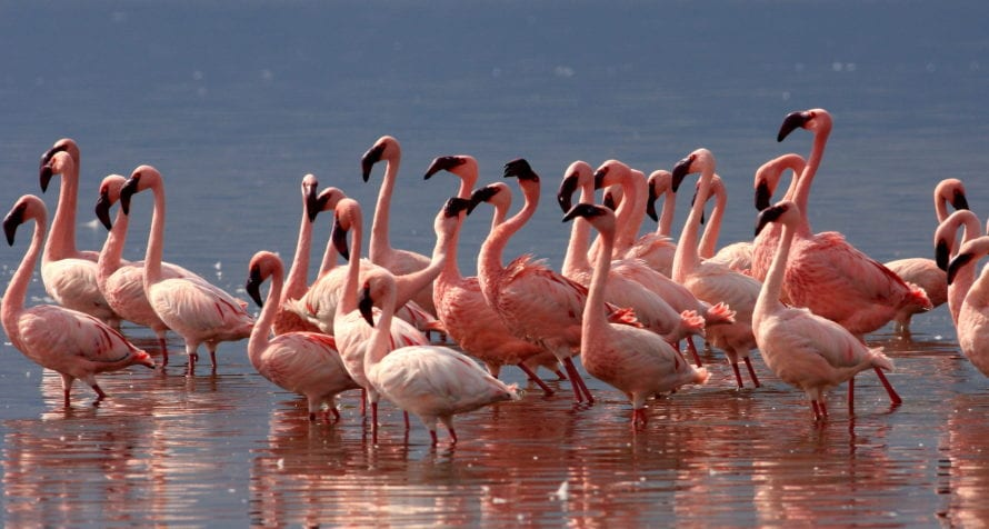 Flamingos brighten up Kenya's Rift Valley Lakes. © Shutterstock