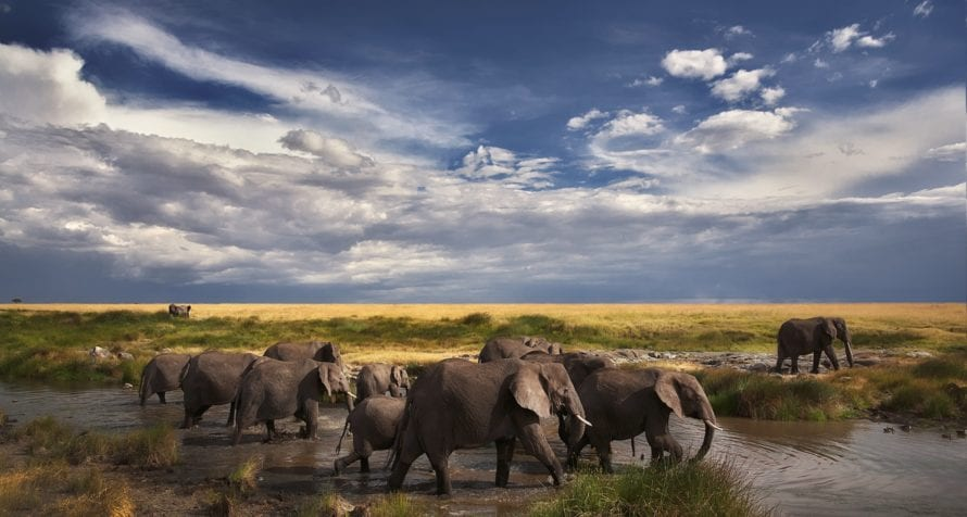 Elephant are found all over Kenya. © Shutterstock