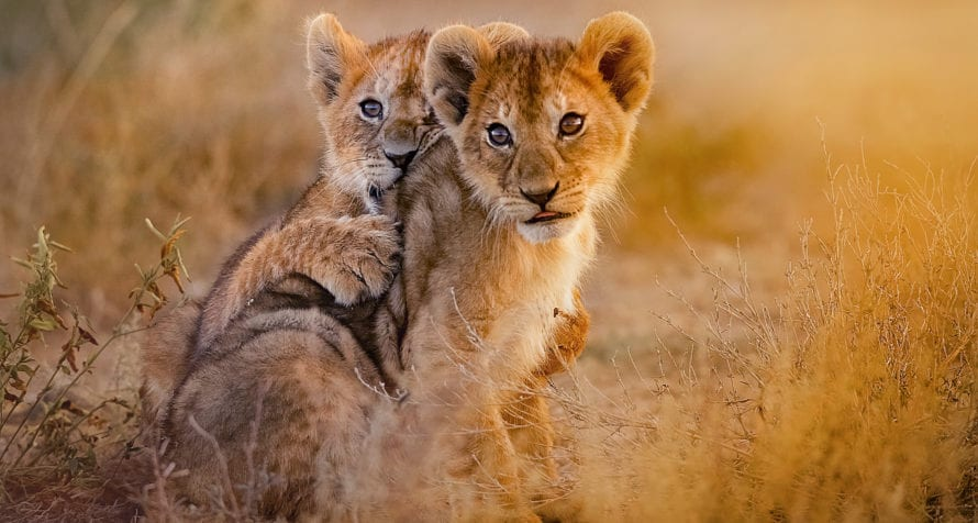 Seeing baby big cats in Kenya is always a pleasure. © Shutterstock