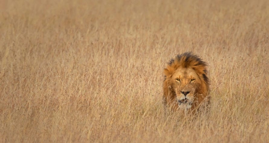 Big cats, like lion, can be found in Kenya. © Shutterstock
