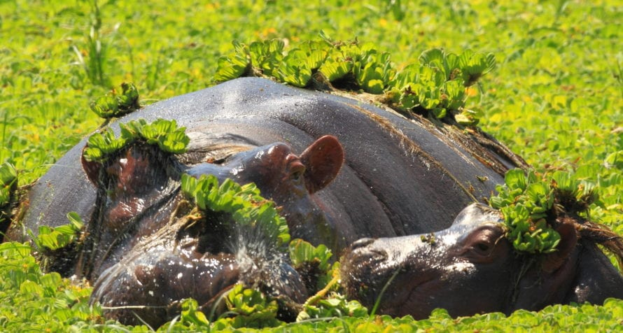 Many Kenya lodges have resident hippo. © Shutterstock