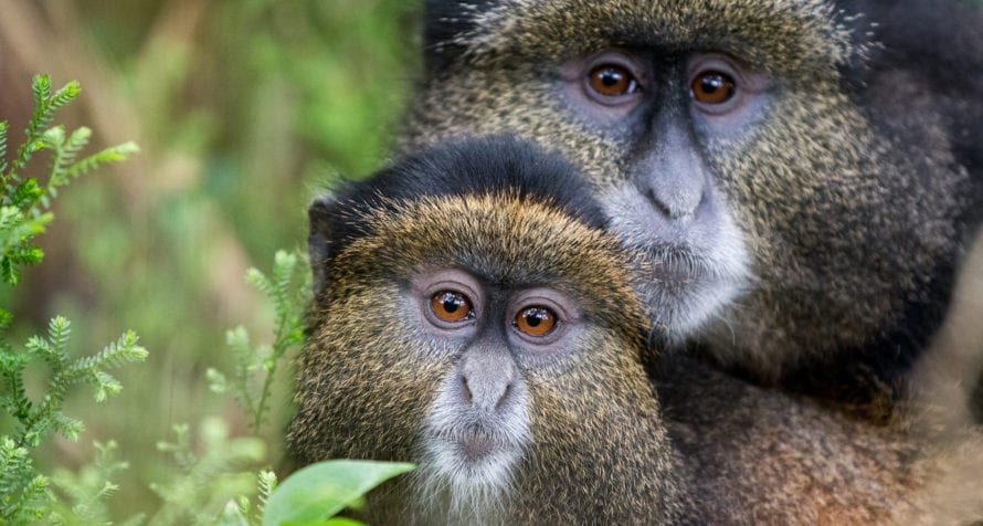 Golden monkeys also inhabit Rwanda. © Shutterstock