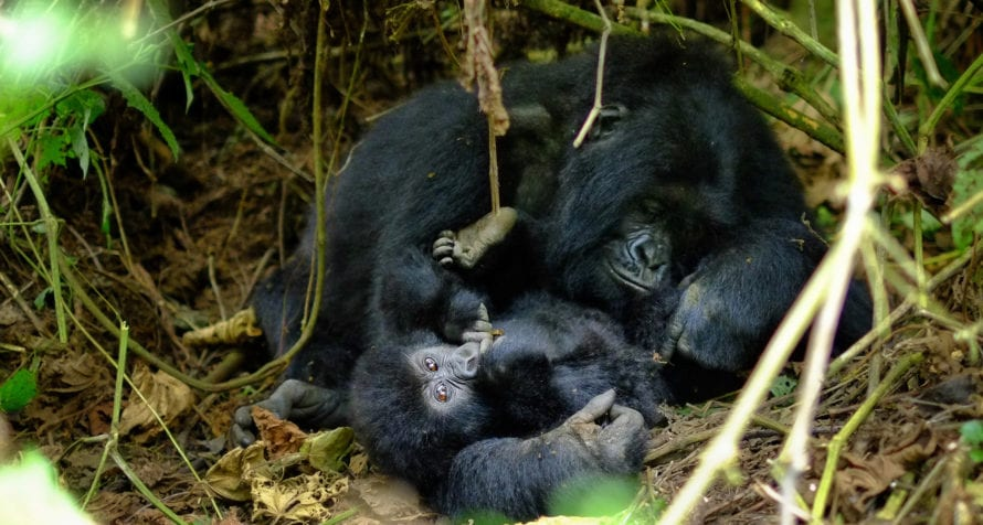 Travellers to Rwanda can visit the mountain gorillas. © Shutterstock