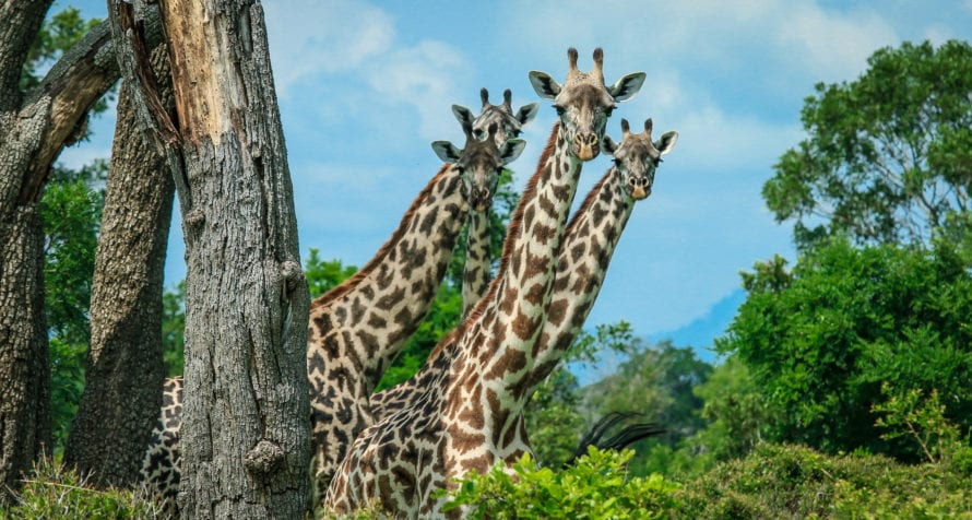 Tanzania has various giraffe species. © Shutterstock