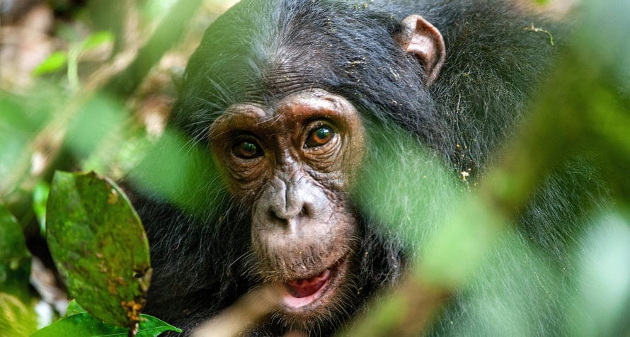 Chimpanzees are on the itinerary in Uganda. © Shutterstock