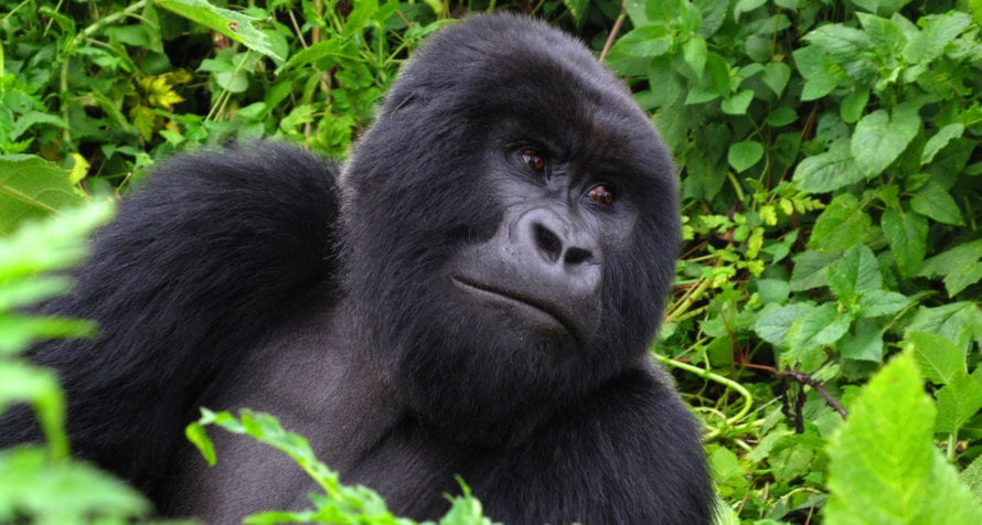 Rwanda is most famous for its mountain gorilla. © Shutterstock