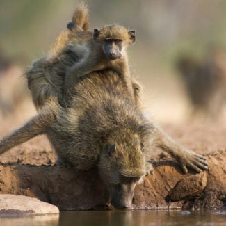 You'll see amazing wildlife sights in Tanzania, like this baboon and her baby. © Shutterstock