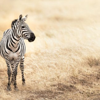Tanzania's savannah has plenty of zebra. © Shutterstock