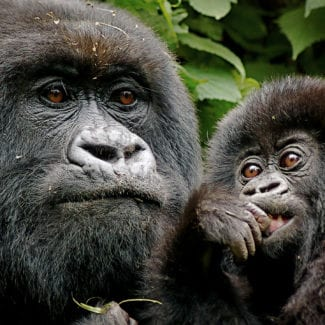 Gorilla inhabit Bwindi Impenetrable Forest in southwestern Uganda. © iStock