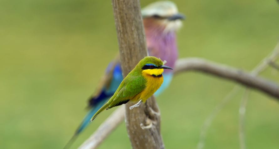 Kenya is full of lovely birdlife, like this cinnamon-chested bee eater and lilac-breasted roller. © iStock