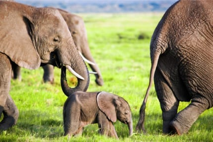 Elephant herds roam the plains of East Africa. © Shutterstock