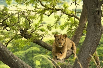 On occasion, lion can be spotted in trees in East Africa. © Shutterstock