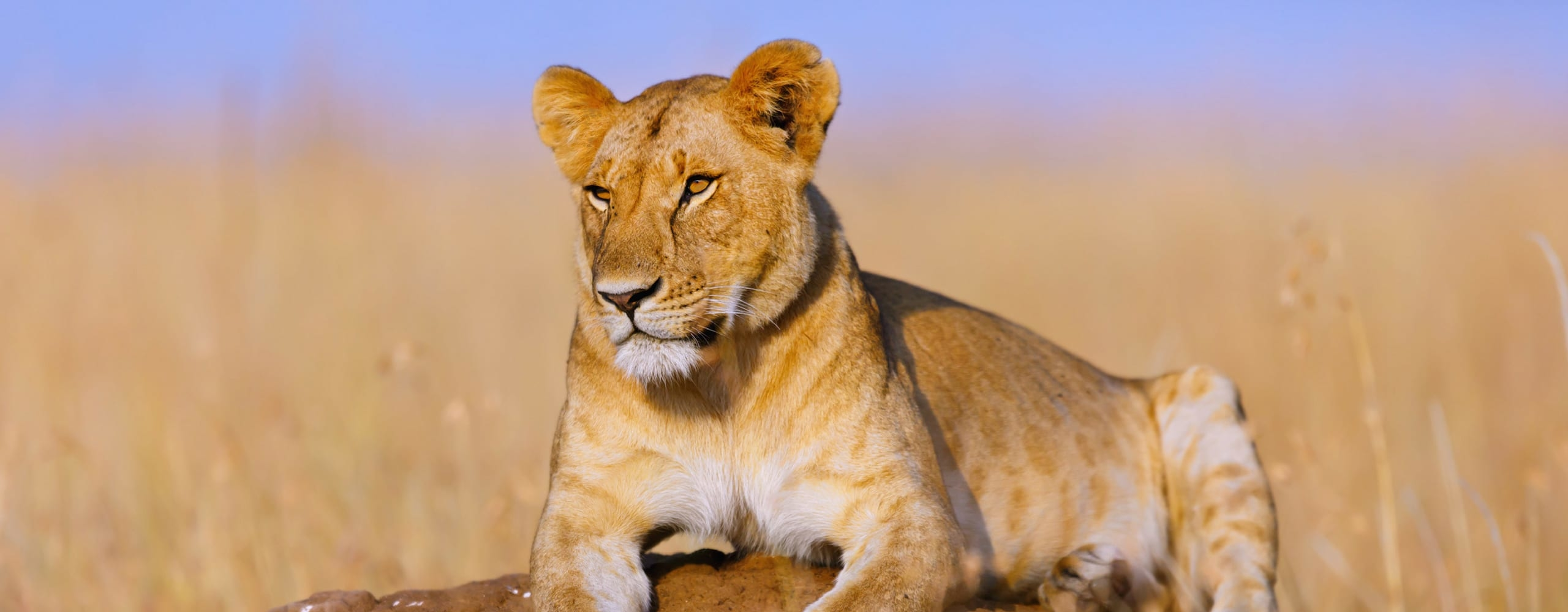 Lions certainly rule the Masai Mara. © Shutterstock