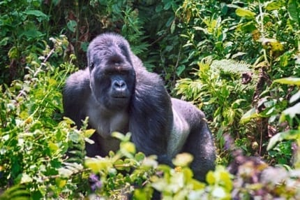 Safaris in Volcanoes National Park enable an entry into the unique ecosystem on which the gorilla depend. © Shutterstock