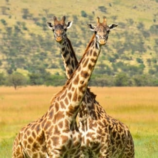 Beautiful giraffes roam the Serengeti. © Shutterstock