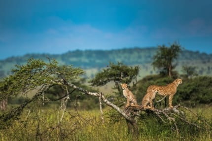 Cheetah and other big cats thrive in East Africa. © Shutterstock