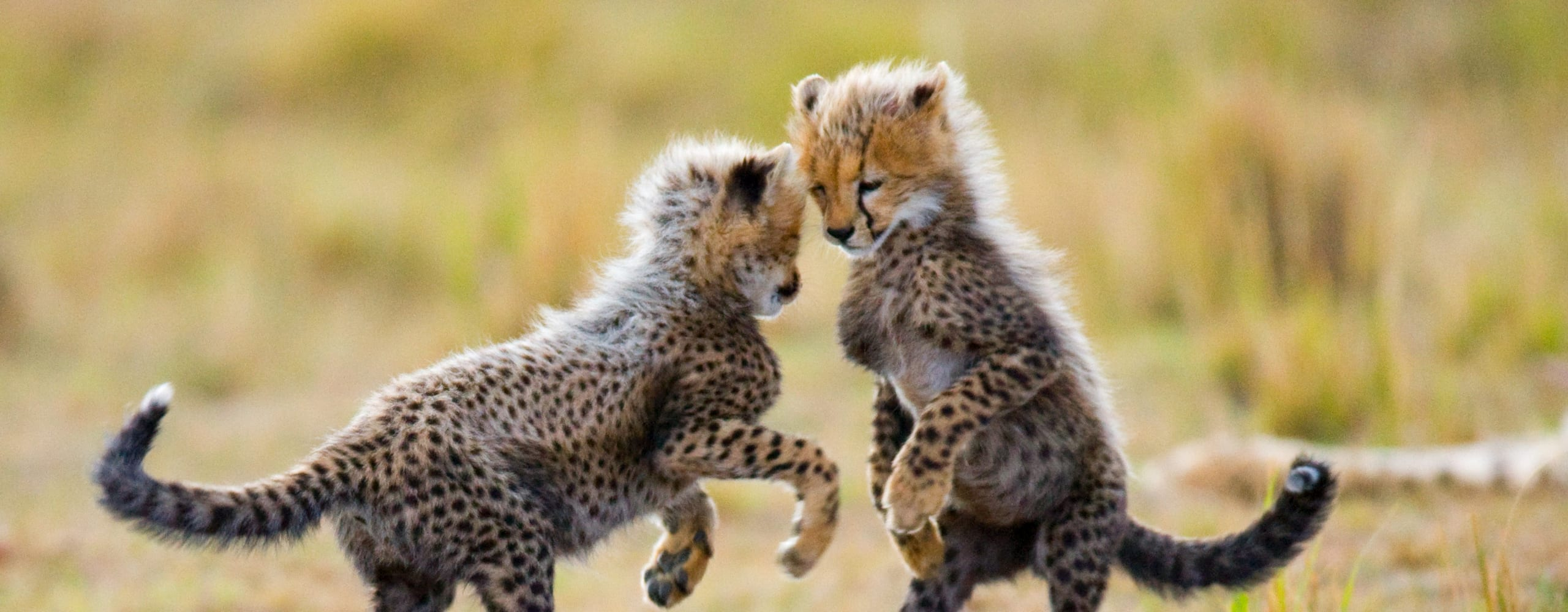 Cheetah cubs are extraordinarily cute. © Shutterstock
