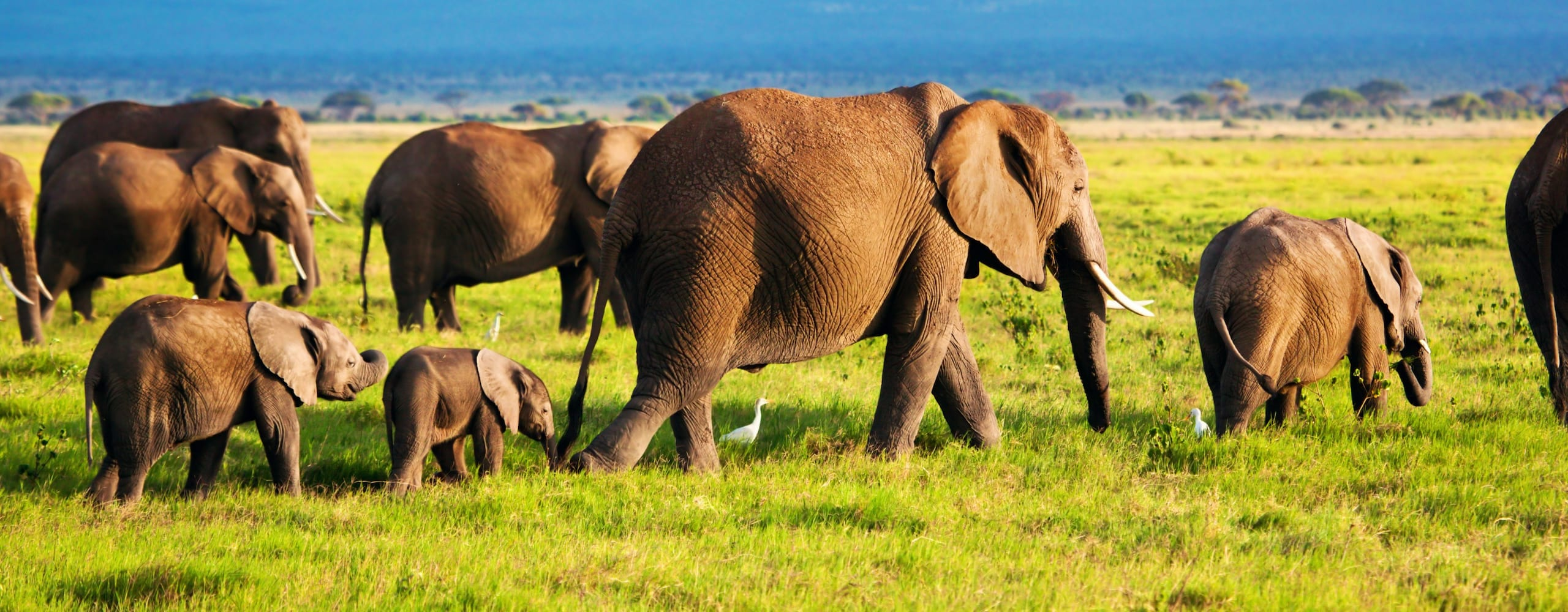 Amboseli is famous for its elephant. © iStock