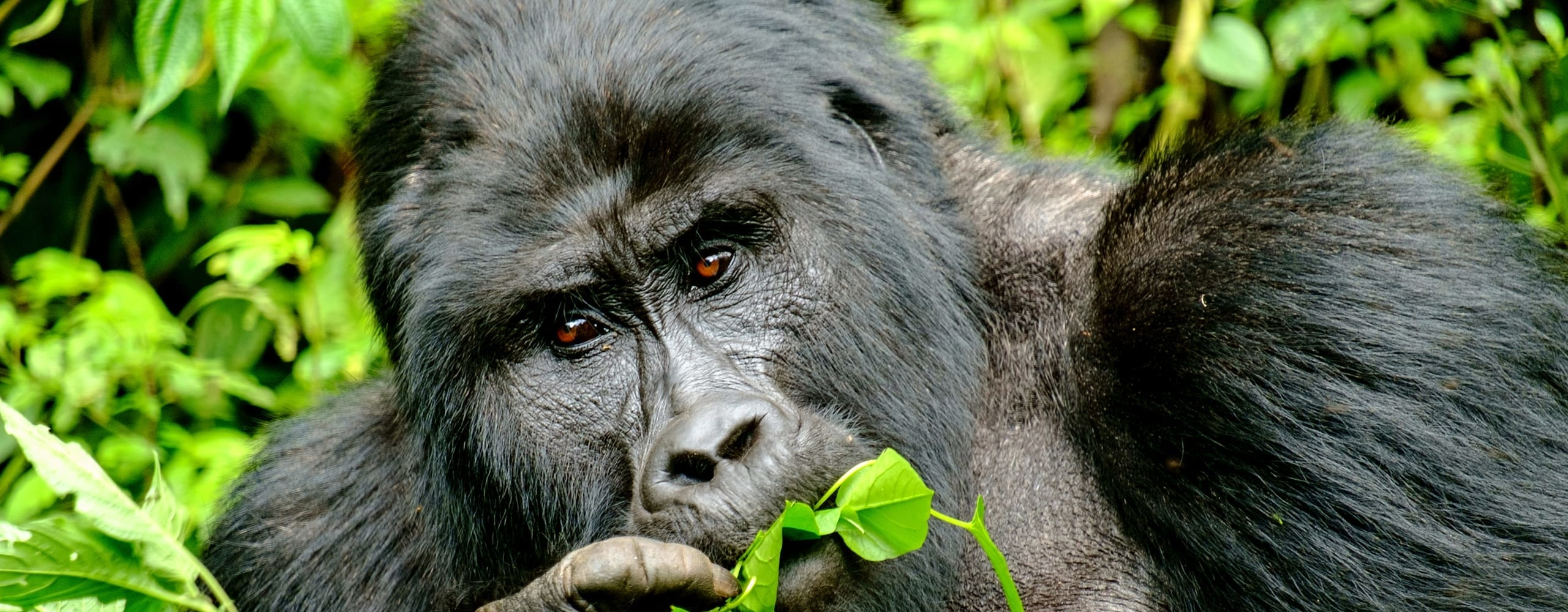 You'll never forget seeing a silverback mountain gorilla in Bwindi Impenetrable Forest. © iStock
