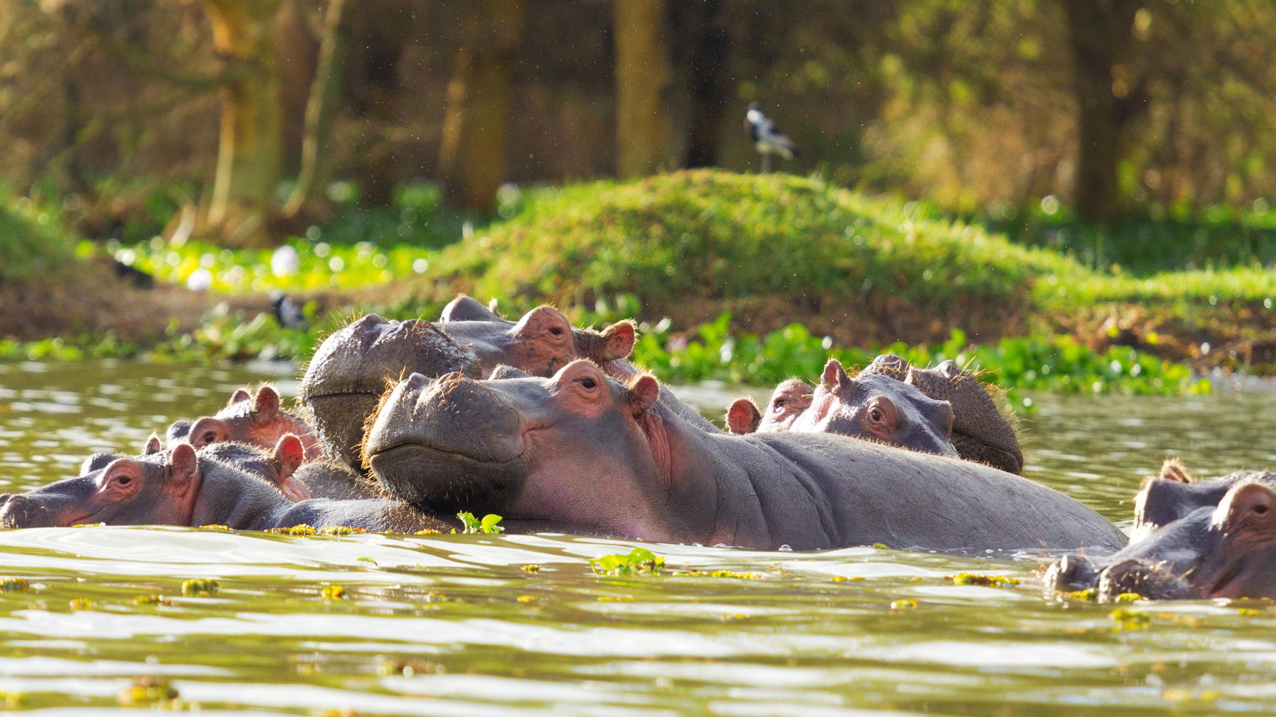 Hippo have a way of looking happy. © Wildlife Safari