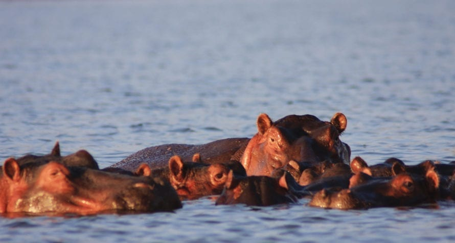 Lake Naivasha is known for its large hippo population. © Lake Naivasha Simba Lodge