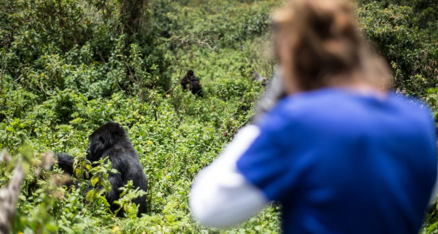 The major drawcard of Volcanoes Virunga Lodge is the opportunity to spend time with mountain gorilla. © Volcanoes Safaris