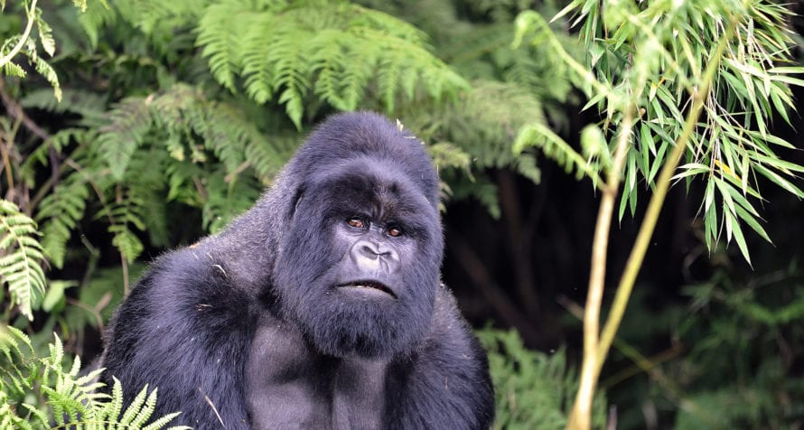 Meet gorilla while at Volcanoes Virunga Lodge. © Volcanoes Safaris