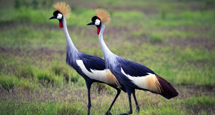 Twitchers will enjoy the varied birdlife of Amboseli, like these grey-crowned cranes. © Shutterstock