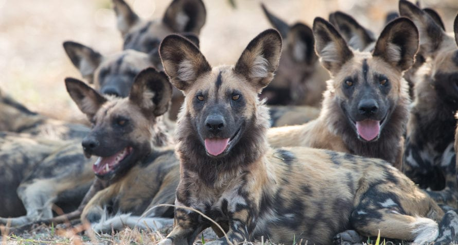 Ol Pejeta is a haven for wild dogs. © Shutterstock
