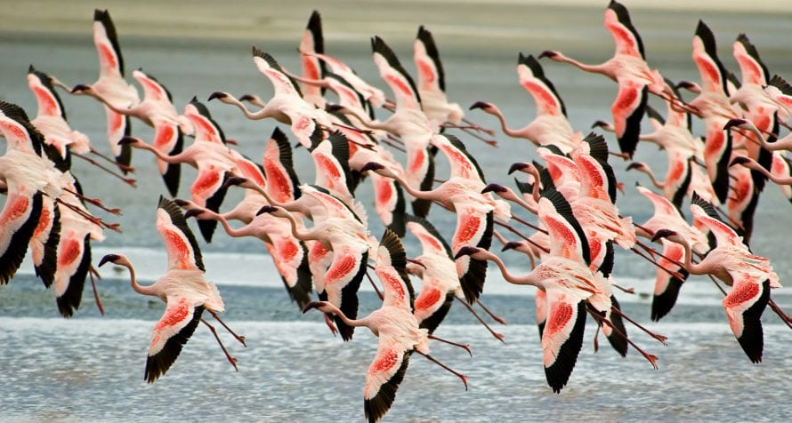 Pink flamingos can be seen in Ngorongoro Crater. © Shutterstock