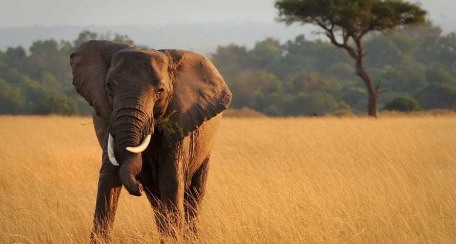 When visiting East Africa you'll get to see elephant. © Shutterstock