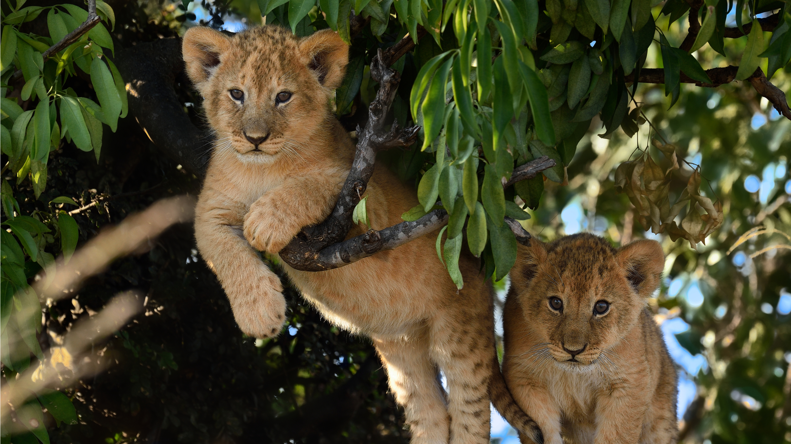 Lion cubs can sometimes be found in trees in East Africa. © Shutterstock