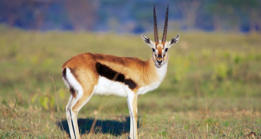 Pretty plains game, like Thomson's gazelle, can be seen at Lake Elmenteita. © Shutterstock