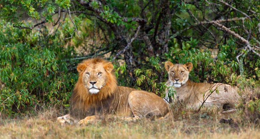 Lion live in Ol Pejeta. © Shutterstock