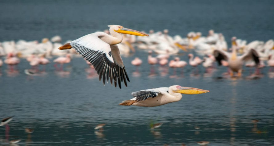 The giant white pelicans of Lake Elmenteita are bound to make you smile. © Shutterstock