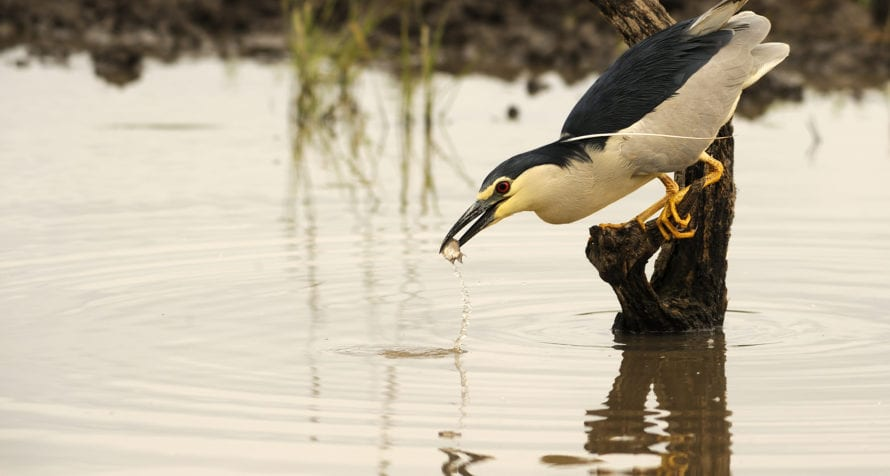 Night herons feed off Lake Elmenteita's fish. © Shutterstock