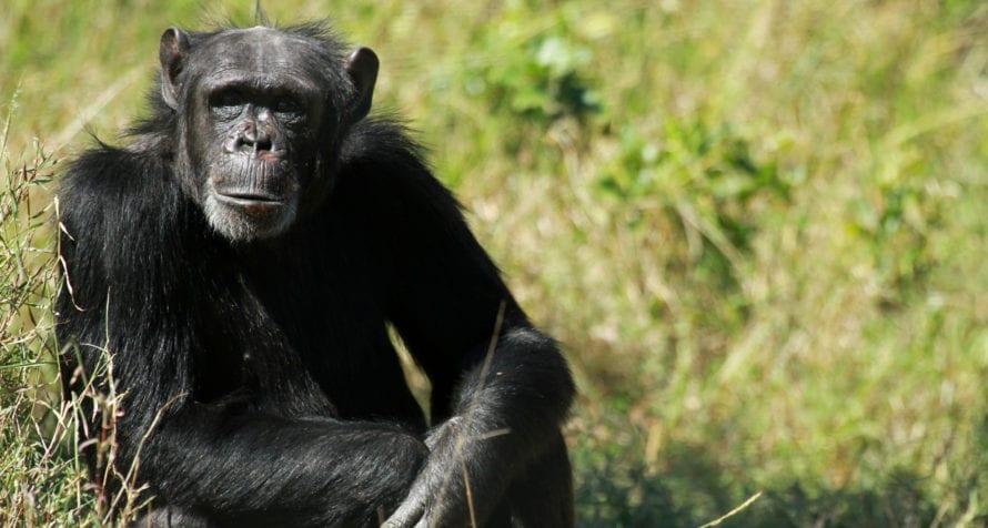 Ol Pejeta houses a chimpanzee sanctuary. © Shutterstock
