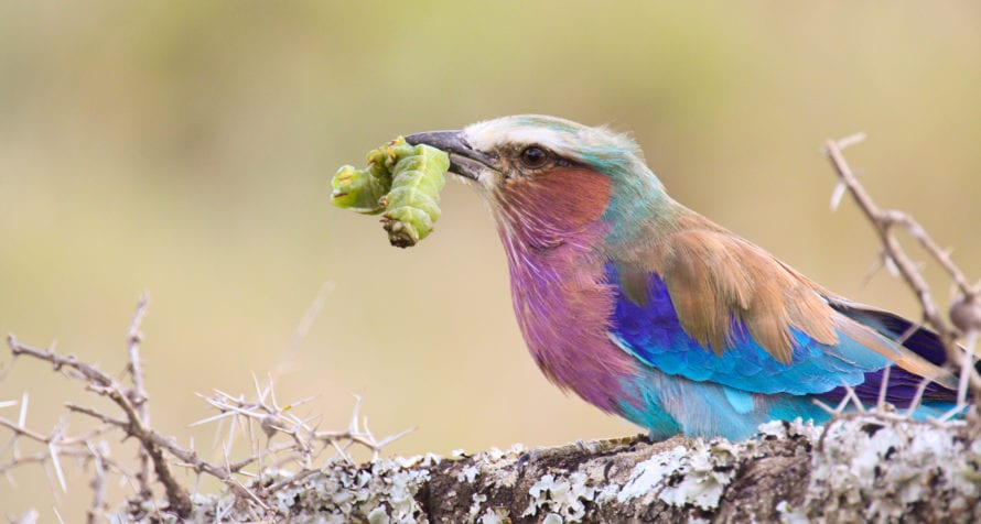 The lilac-breasted roller is just one of the many birds found in Ol Pejeta. © Shutterstock