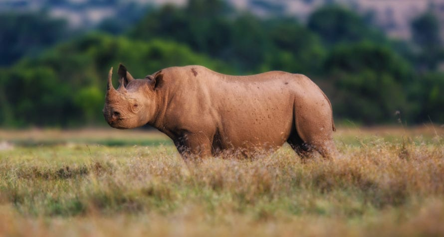 Ol Pejeta is the largest black rhino sanctuary in East Africa. © Shutterstock