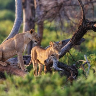 Sometimes lion can be found in trees in Samburu. © Shutterstock