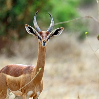 Samburu is one of the few places you can find gerenuk. © Shutterstock