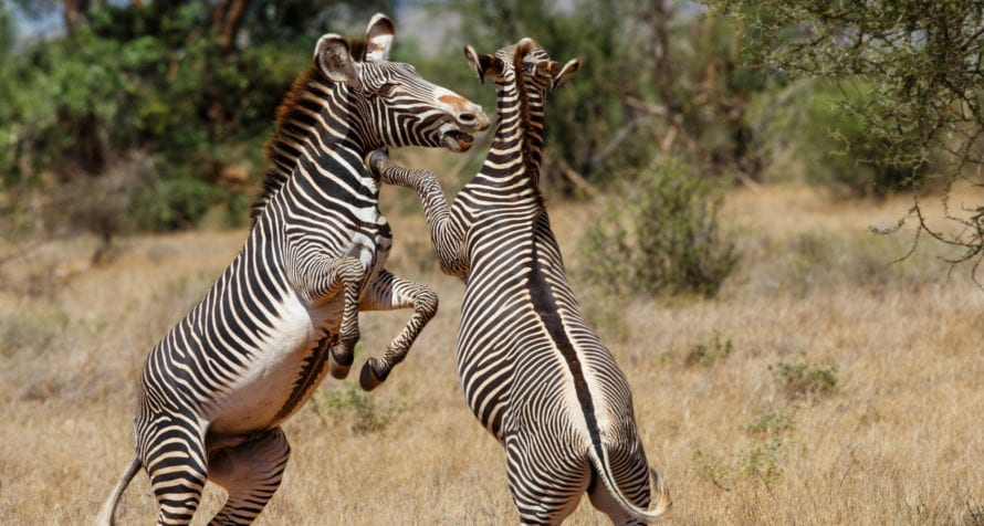 Grevy's zebra, found in Samburu, have thin stripes. © Shutterstock