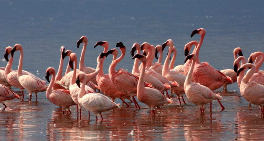 Pink flamingos are possibly the star attractions of Lake Elmenteita. © Shutterstock
